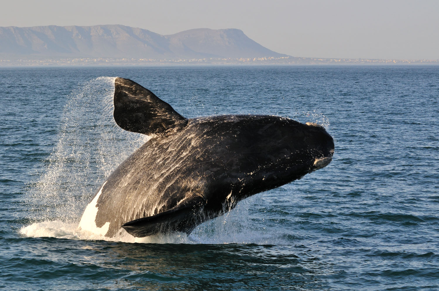 private-tour-saffa-tours-hermanus-home-widgets-thingstodo-whale-watching