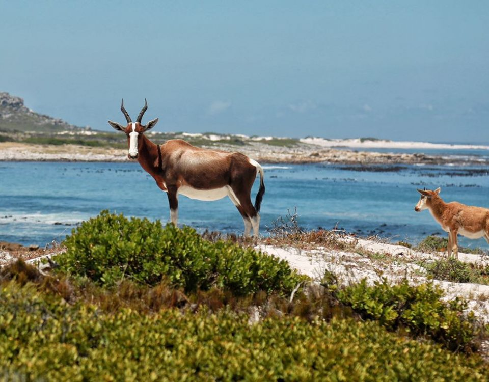 private-tour-wildlife-cape-point-bontebok-saffa-tours