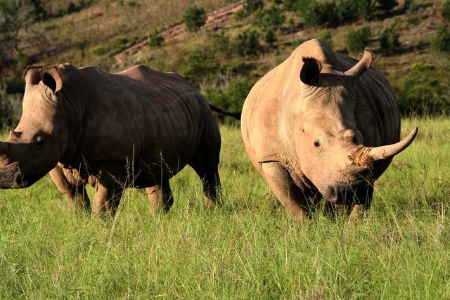 Guided-Game-drive-Rhino-private tour saffa tours