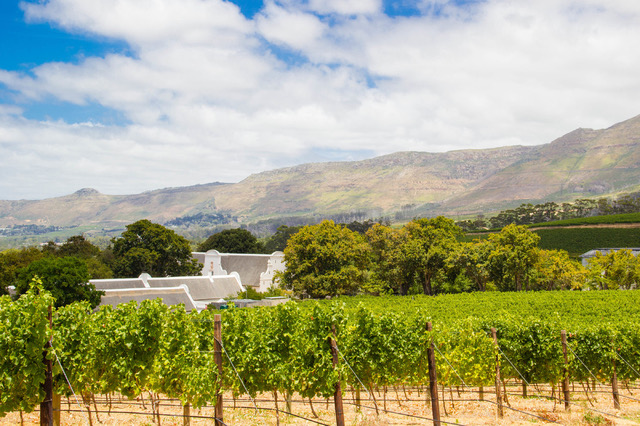 The beautiful green vineyards at Groot Constantia private wine tour cape town saffa tours