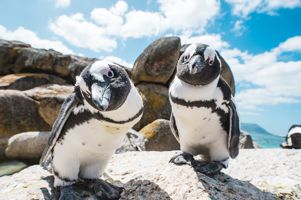 Two penguins looking into the camera at boulders bay cape town saffa tours