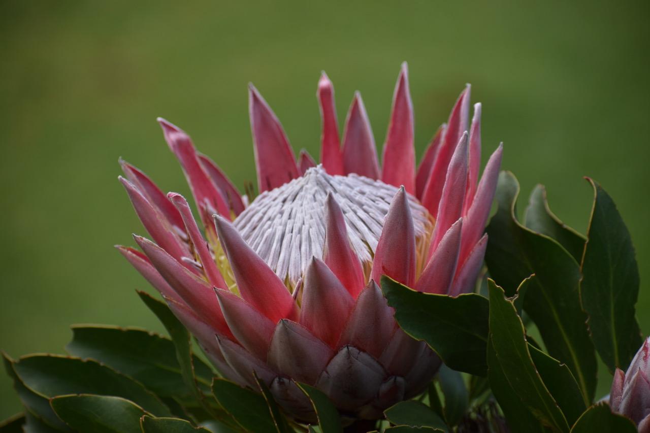 king-protea