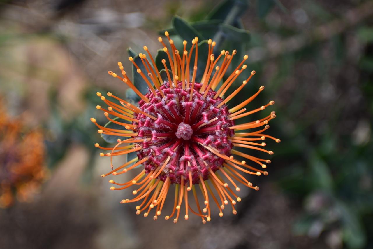 pincushion-protea-flower