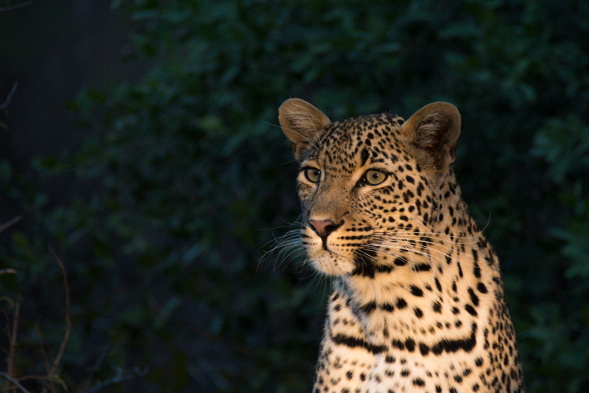 young-female-leopard