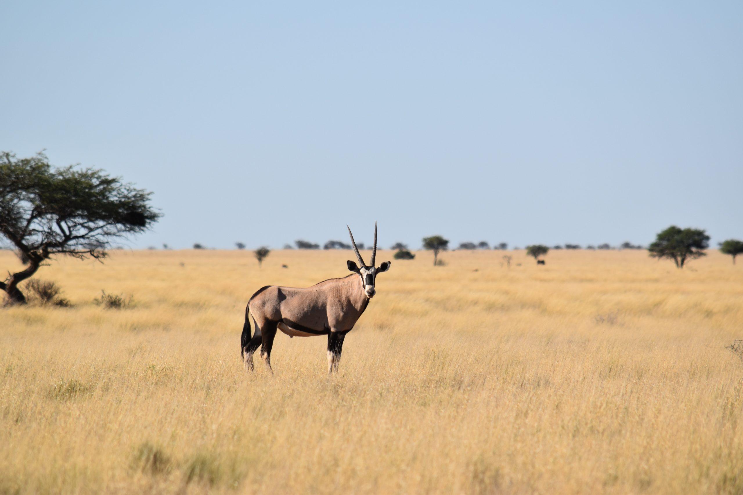 oryx-gemsbok